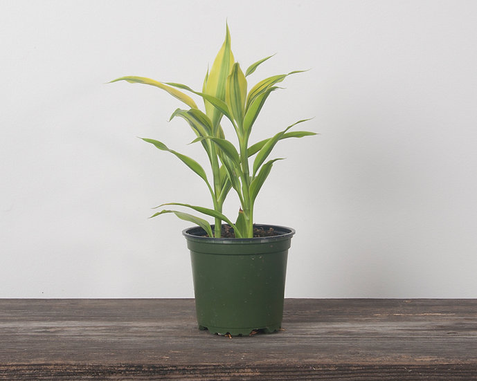 "4"" Ribbon Plant - Golden"
