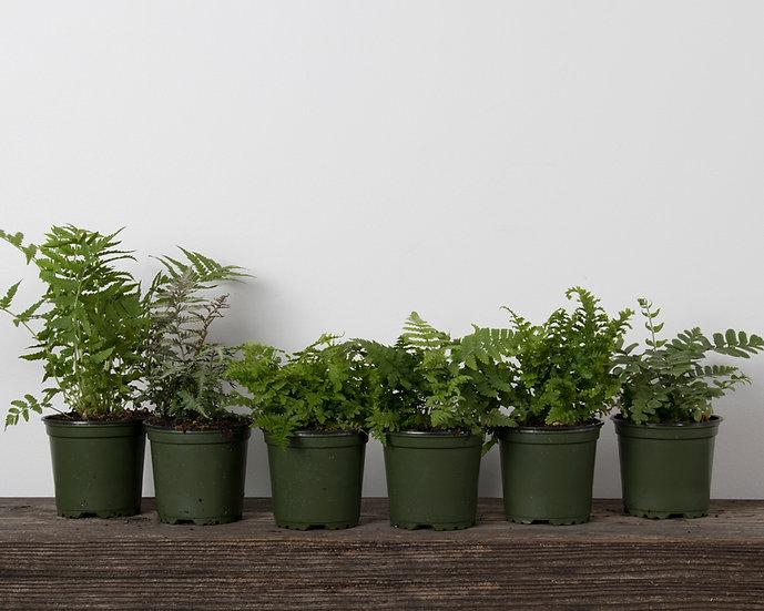 """4"""" Ferns - Hardy Varieties"""