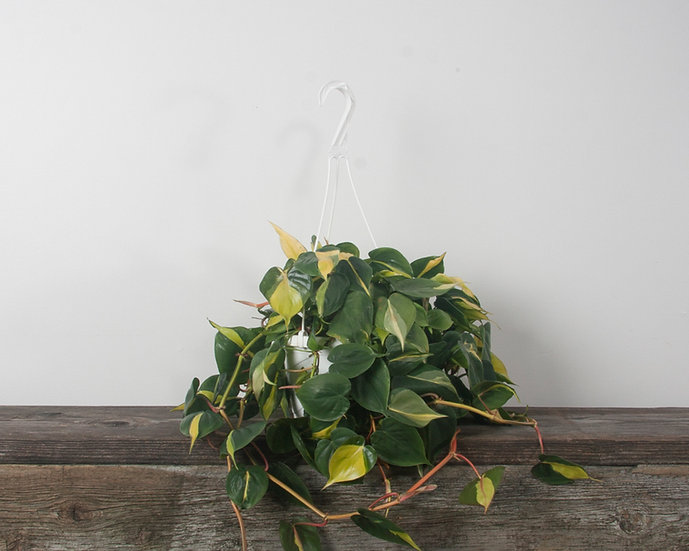 """8"""" Philodendron Brazil H.B"""