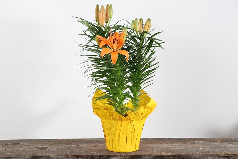 "6"" Hybrid Lily"