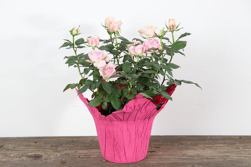 "6"" Roses"
