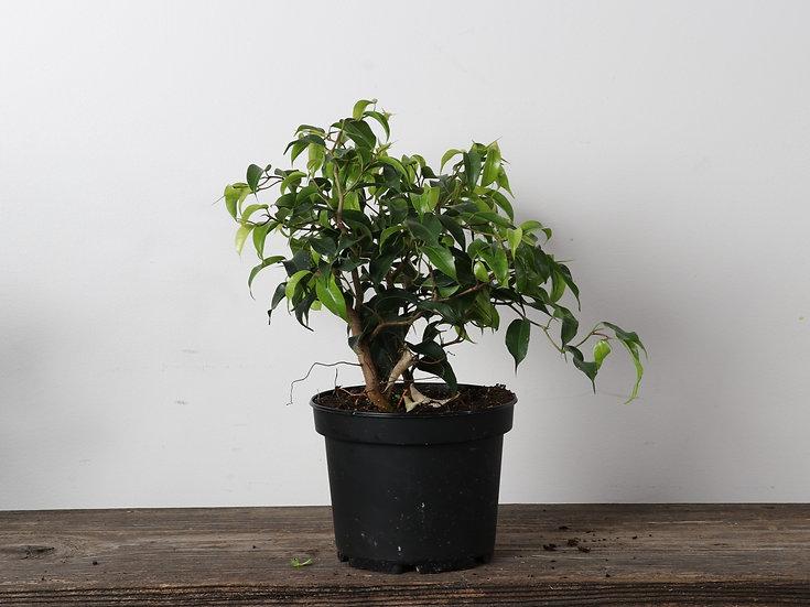 "6"" Ficus - Weeping Fig - Zig-Zag"