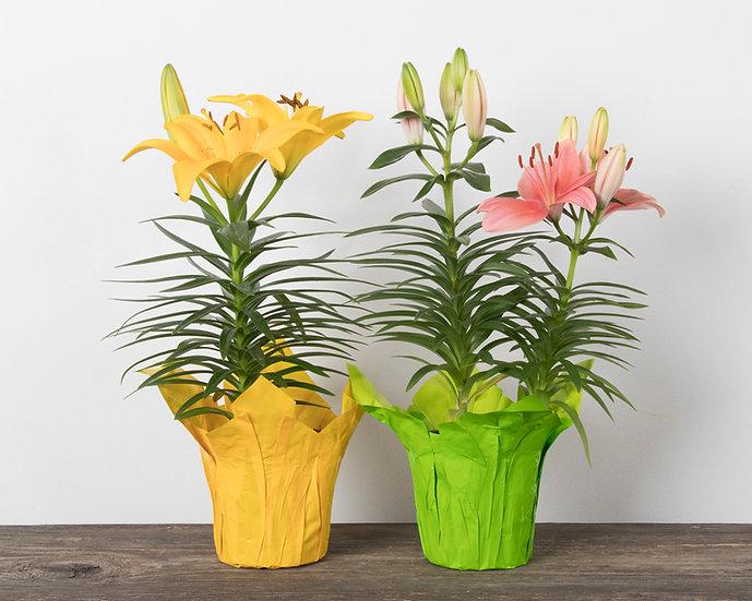 "4"" Hybrid Lily"