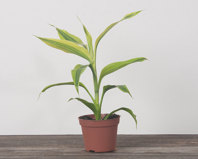 "2.25"" Ribbon Plant - Golden"