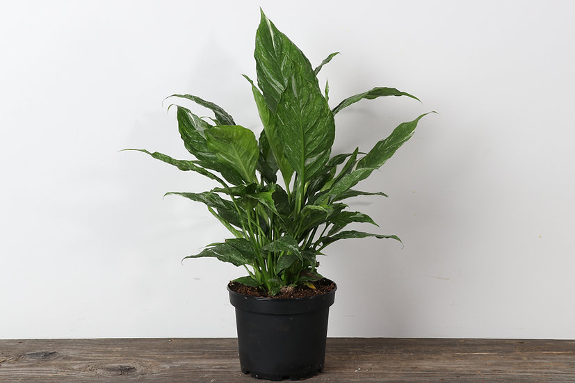 """6"""" Peace Lily - Domino"""