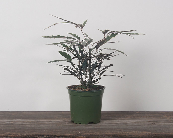 "4"" False Aralia - Variegated"