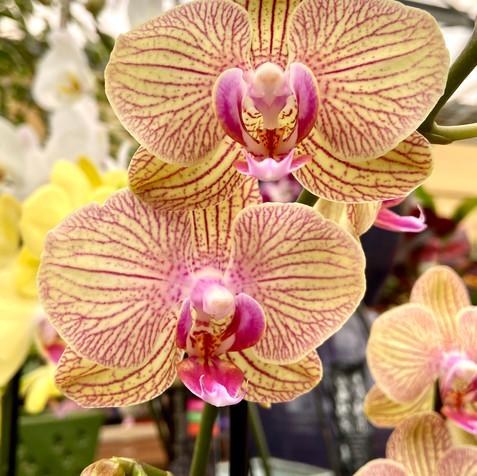 Striped Phalaenopsis Orchid