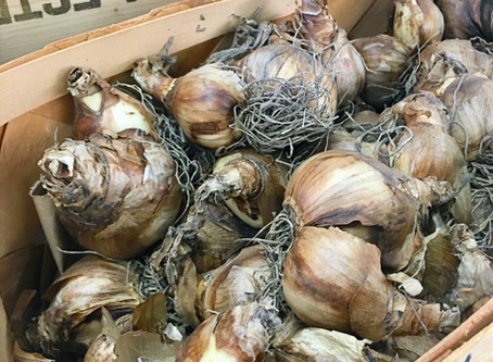 Bulbs Part I: Fall Planting