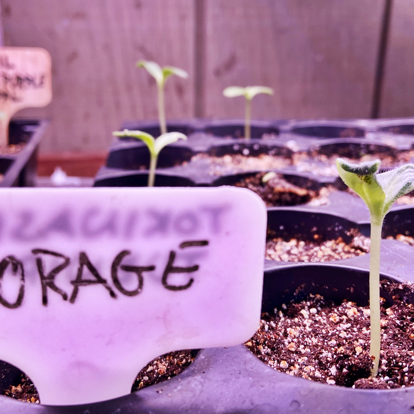 Borage Seedlings
