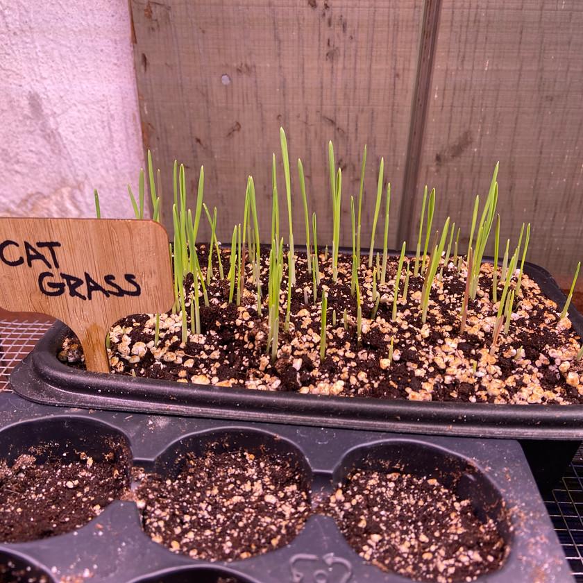 Cat Grass Seedlings