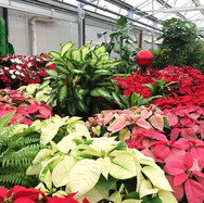 The greenhouse is filled with holiday plants.