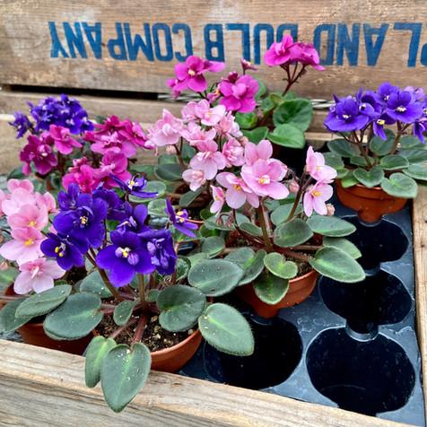 Mini African Violets