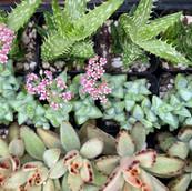 Succulents Bloom Too