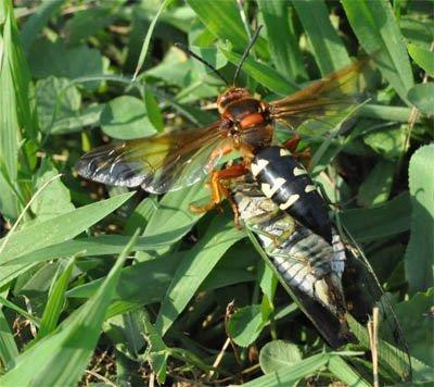 """Cicada Killer Wasps"" Lee Townsend, UK Extension Entomologist"