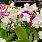 Mini Phalaenopsis Orchids