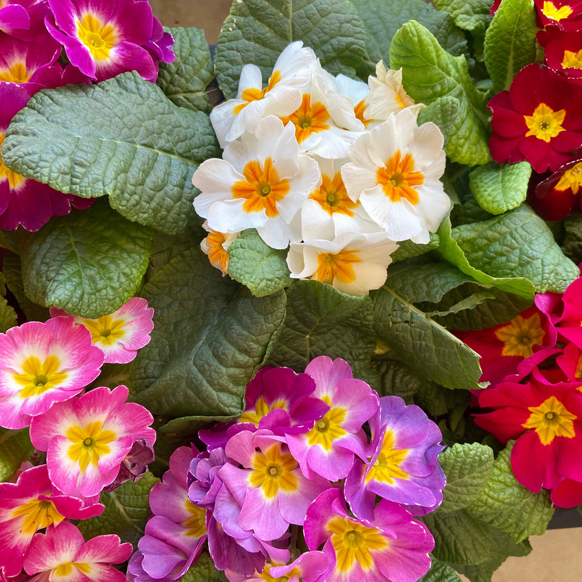 Cool Weather Primroses
