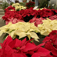 Red, White, and Pink Poinsettias