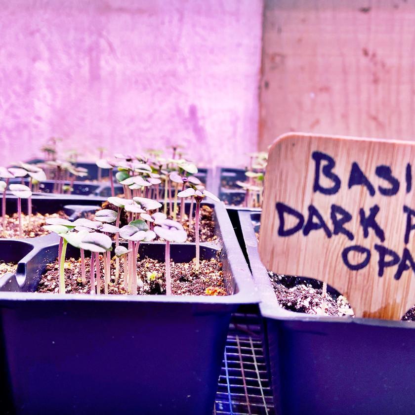 BDPO Seedlings