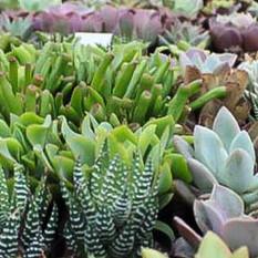 Mixture of Succulents