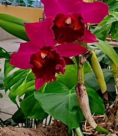 Cattleya Orchid in Bloom 7:30:20.JPG