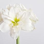 Double White Amaryllis