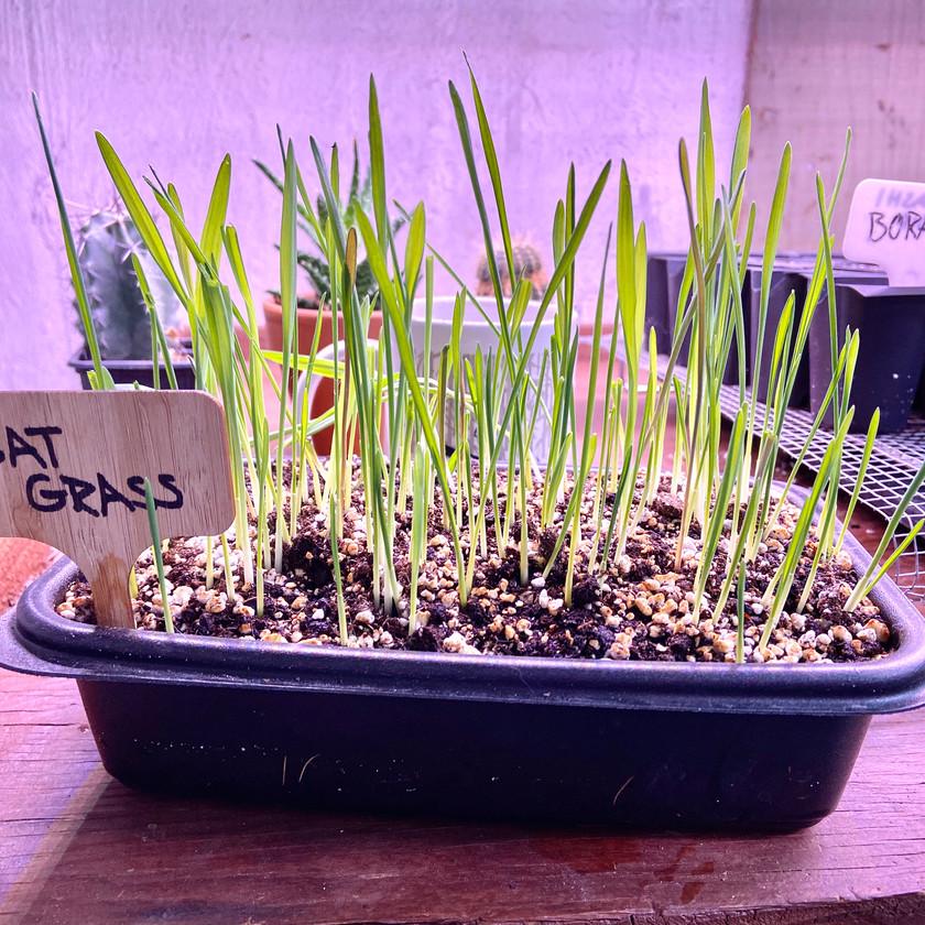 Quick Growing Cat Grass
