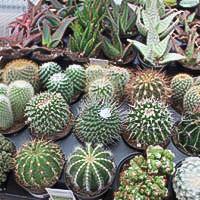 Cacti & Aloe