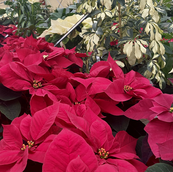 Poinsettias and Green Plants