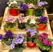 Mini African Violets in Pots
