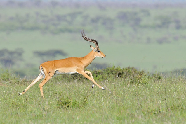 Antilopes & Gazelles