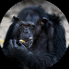 Samantha the chimpanzee