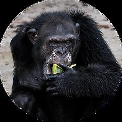 Bullet the chimpanzee