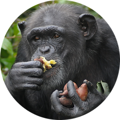 Mabel the chimpanzee