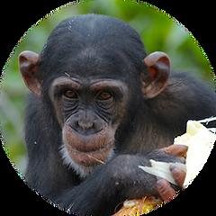 Spright the chimpanzee
