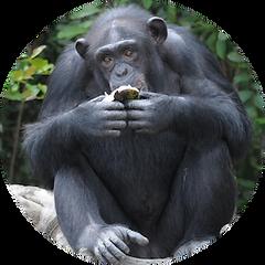 Rose the chimpanzee