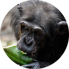 David the chimpanzee