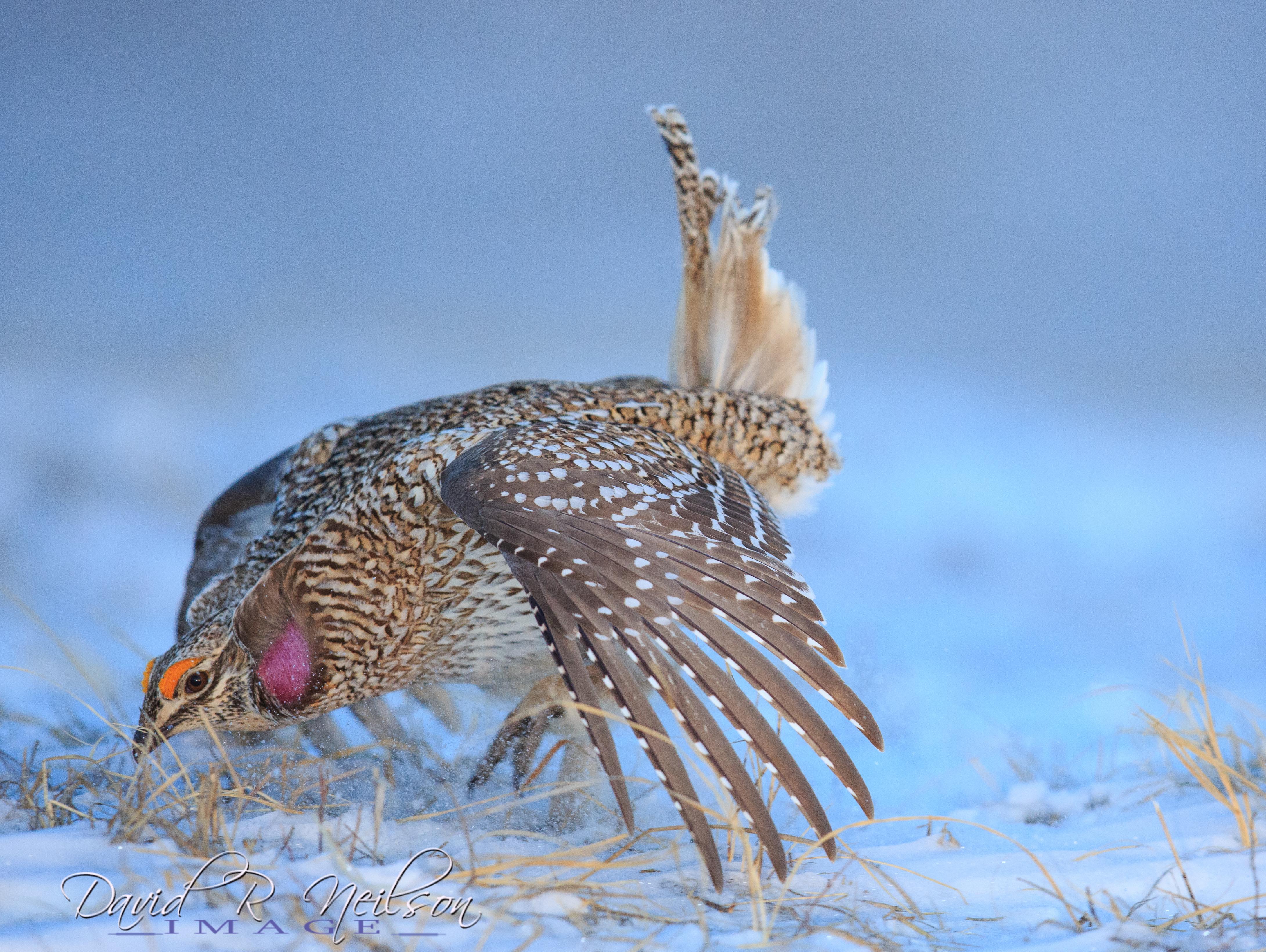 Sharp-tailed Grouse, Neilson