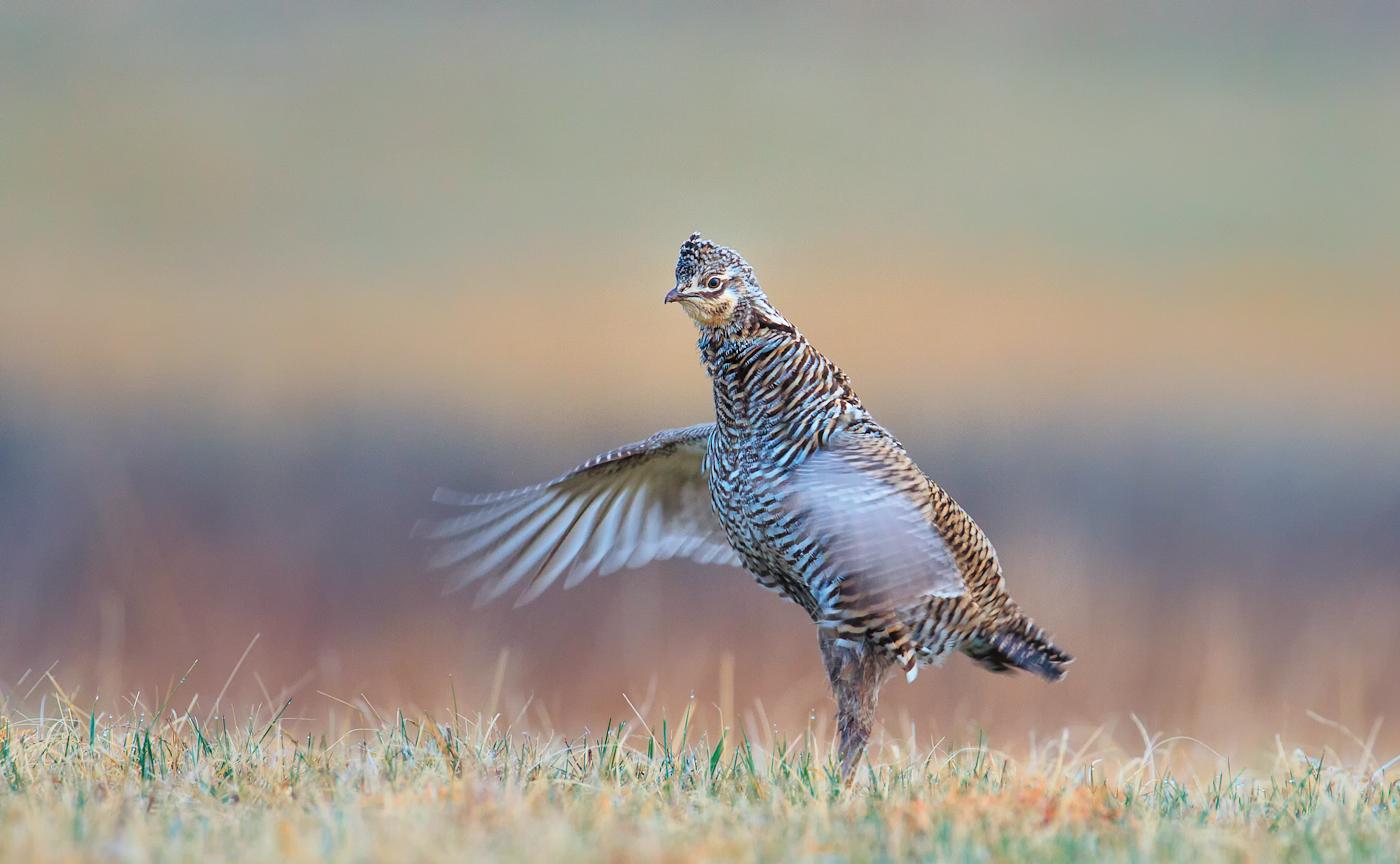 Flutter jump, David Neilson