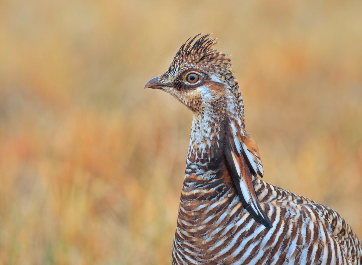 Greater Prairie Chicken, Neilson