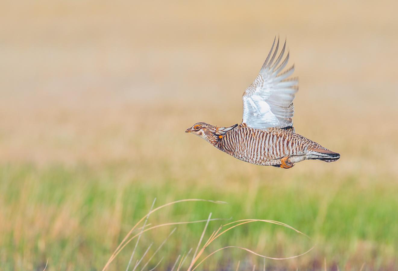 Prairie Chicken in flight, Neilson