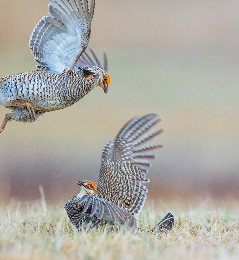 Males sparring, David Neilson