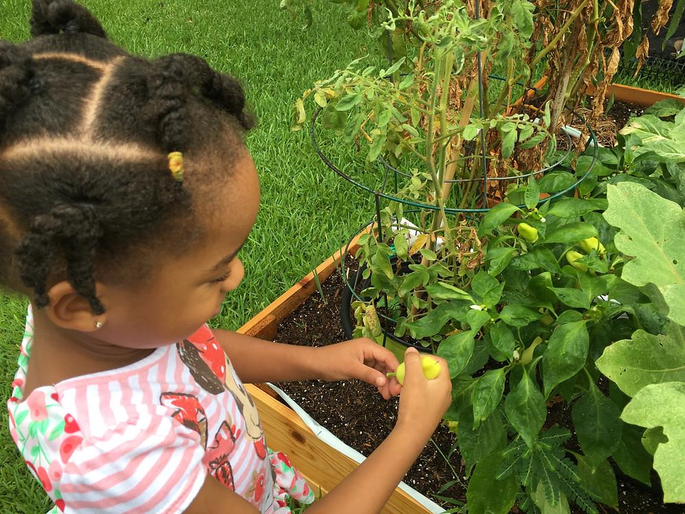 Young girl enjoying picking and eating organic vegetables