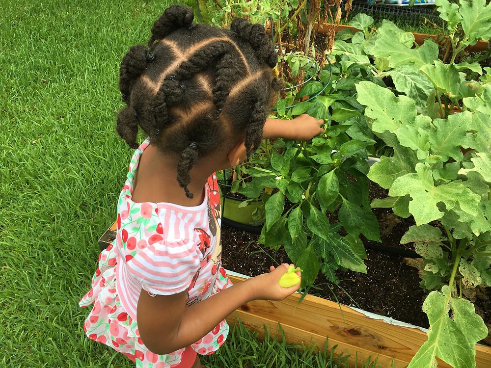 Organic Community Garden's first 2016 harvest