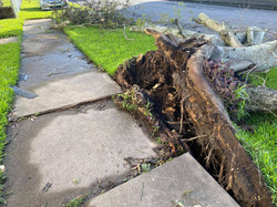 Tree root ripped out of the ground by Hurricane Laura - Port Arthur, TX