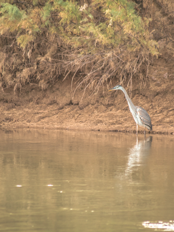 Heron on the Rio Grande