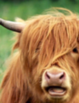 Highland%2520Cattle_edited_edited.jpg