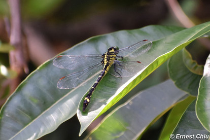 黑面擴腹春蜓 Stylurus clathratus