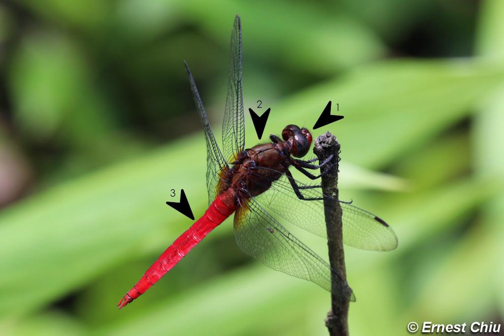 華麗灰蜻 Red-faced Skimmer