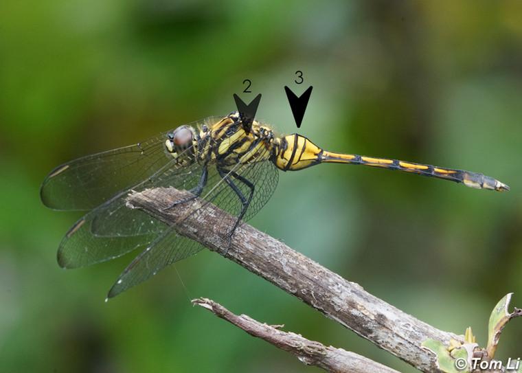 斑灰蜻 Mangrove Skimmer