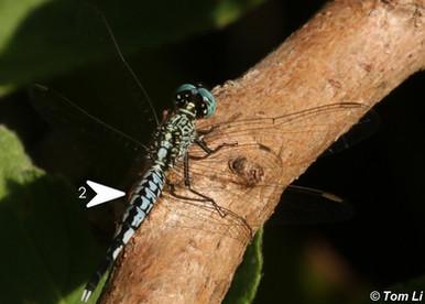 錐腹蜻 Asian Pintail